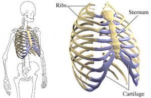 Human Ribs