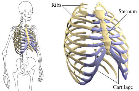 first aid for rib fractures professional first aid and cpr courses : human ribs diagram - findchart.co